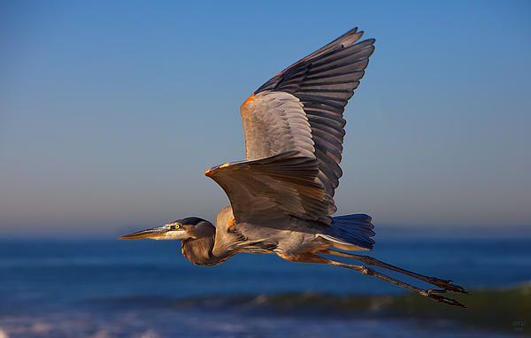 Blue Heron by David Millenheft #blue #heron