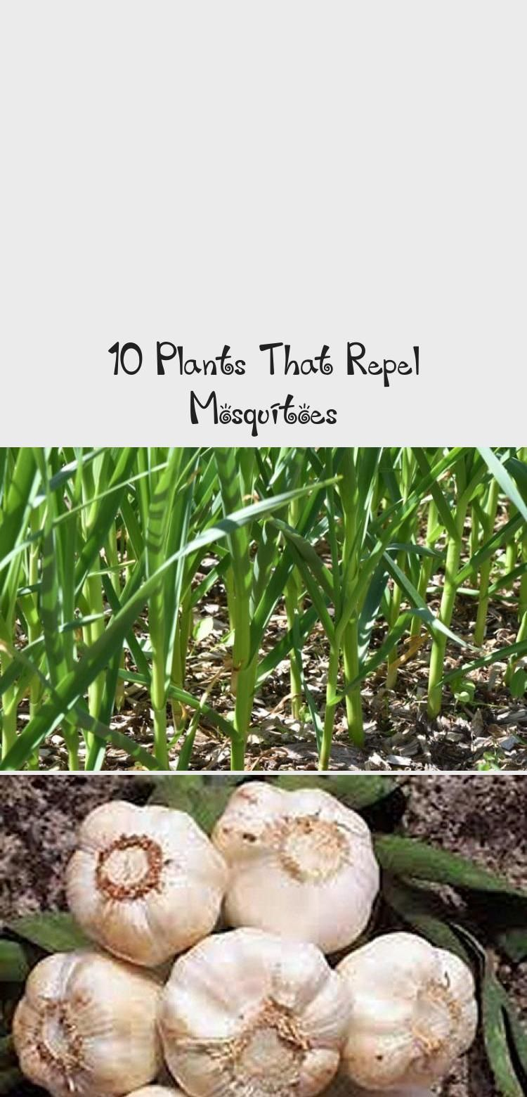 10 Plants That Repel Mosquitoes #plantsthatrepelmosquitoes These mosquito repellent plants really work! Mosquitoes used to drive me crazy but adding these plants that repel mosquitoes in my backyard garden and patio helped so much. You'll love these easy to grow flower and herb ideas for both sunny and shade gardens. #gardening #gardenpests #naturalliving #homesteadacres | homestead-acres.com #shadegardenDIY #shadegardenPathways #Southernshadegarden #shadegardenHydrangea #shadegardenFerns #plantsthatrepelmosquitoes