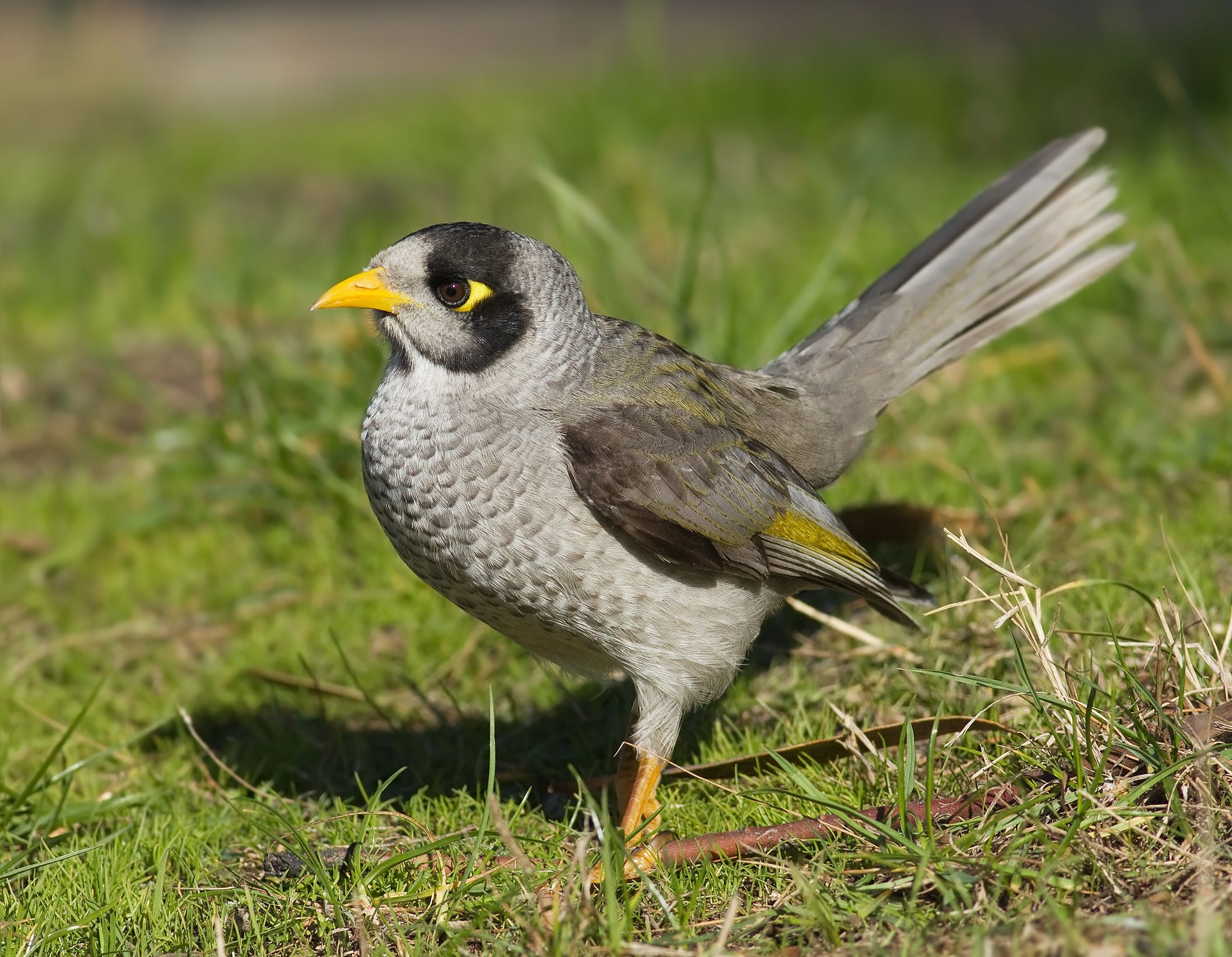 A Grey Bird With A Distinctive Yellow Patch Behind The Eye Yellow