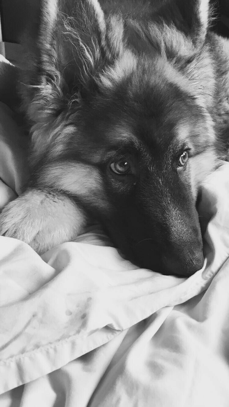 Gsd puppy with images black german shepherd dog