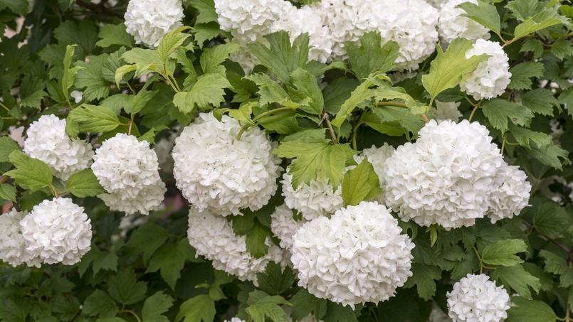 Viorne obier de splendides inflorescences blanches - Boule de neige plante ...