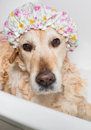 Cada cu nto ba ar a mi perro cuidados caninos pinterest perros golden retriever y bane - Cada cuanto banar a un perro ...