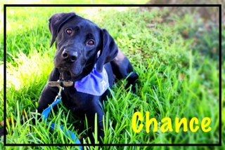 Check out Chance's profile on AllPaws.com and help him get adopted! Chance is an adorable Dog that needs a new home. https://www.allpaws.com/adopt-a-dog/black-labrador-retriever-mix-retriever/6253287?social_ref=pinterest