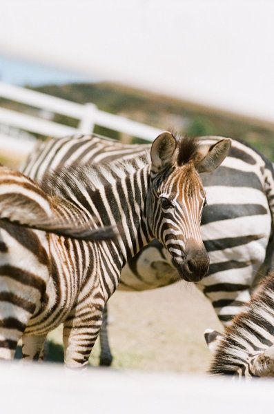 can i please have zebras at my wedding?! lol! Style Me Pretty | Gallery | #7572 | Page #1