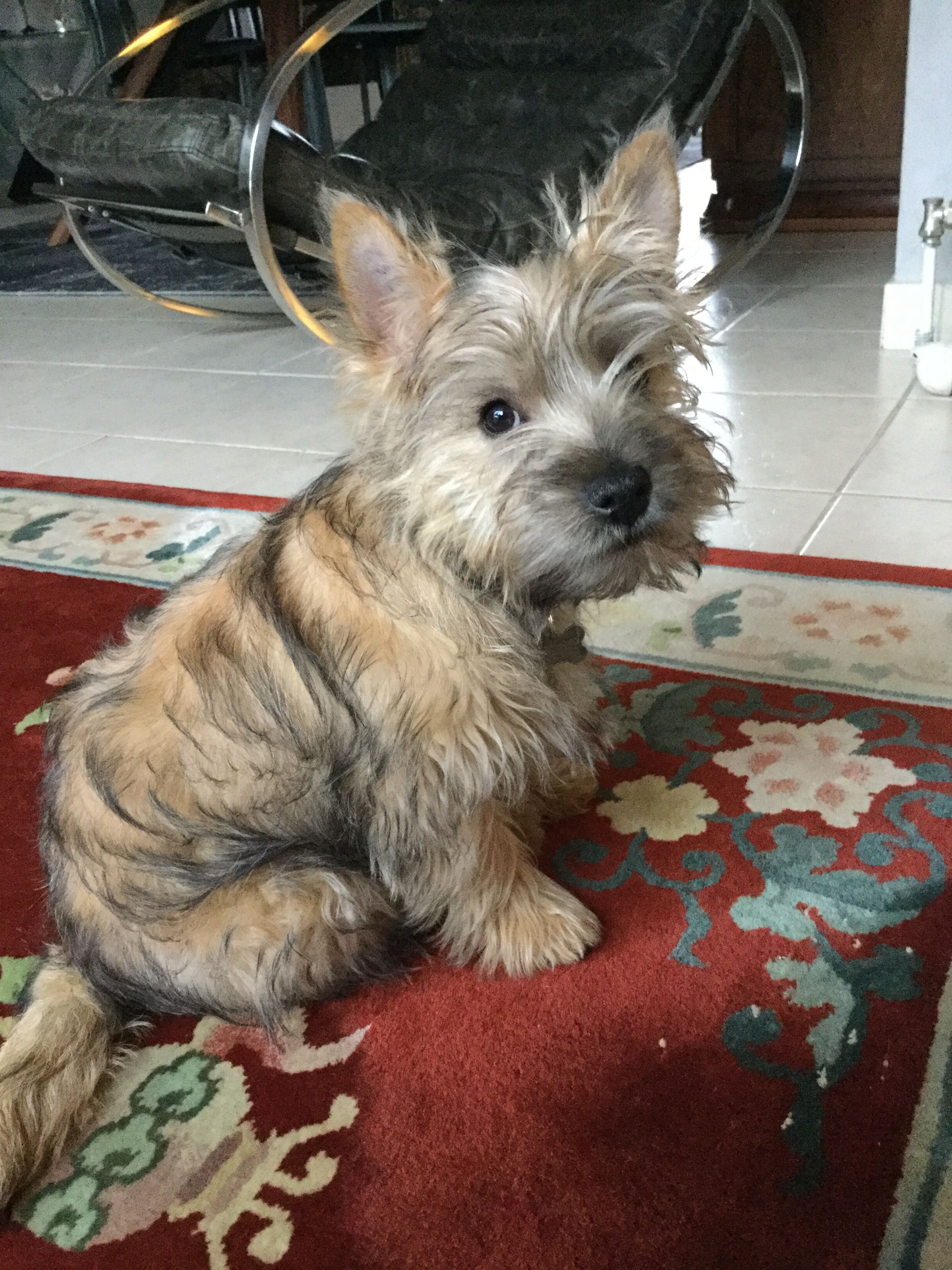Pin By Nicola Clark On Cute Cairns Cairn Terrier Puppies
