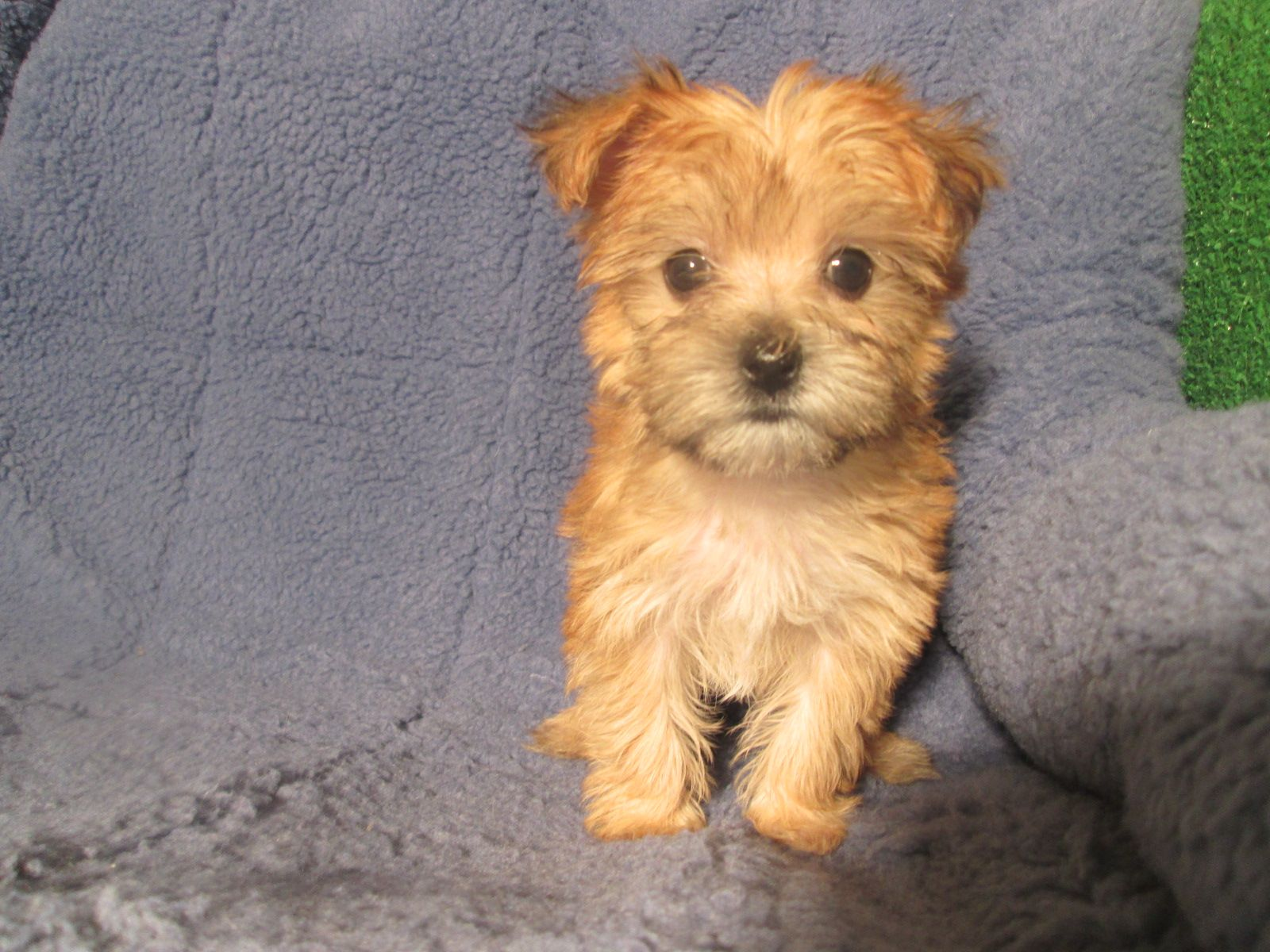 Sweet Morkie Puppies Available 8 12 Weeks Of Age Permanent Shots And Wormings Completed Along With Microchi Mixed Breed Puppies Morkie Puppies Puppies
