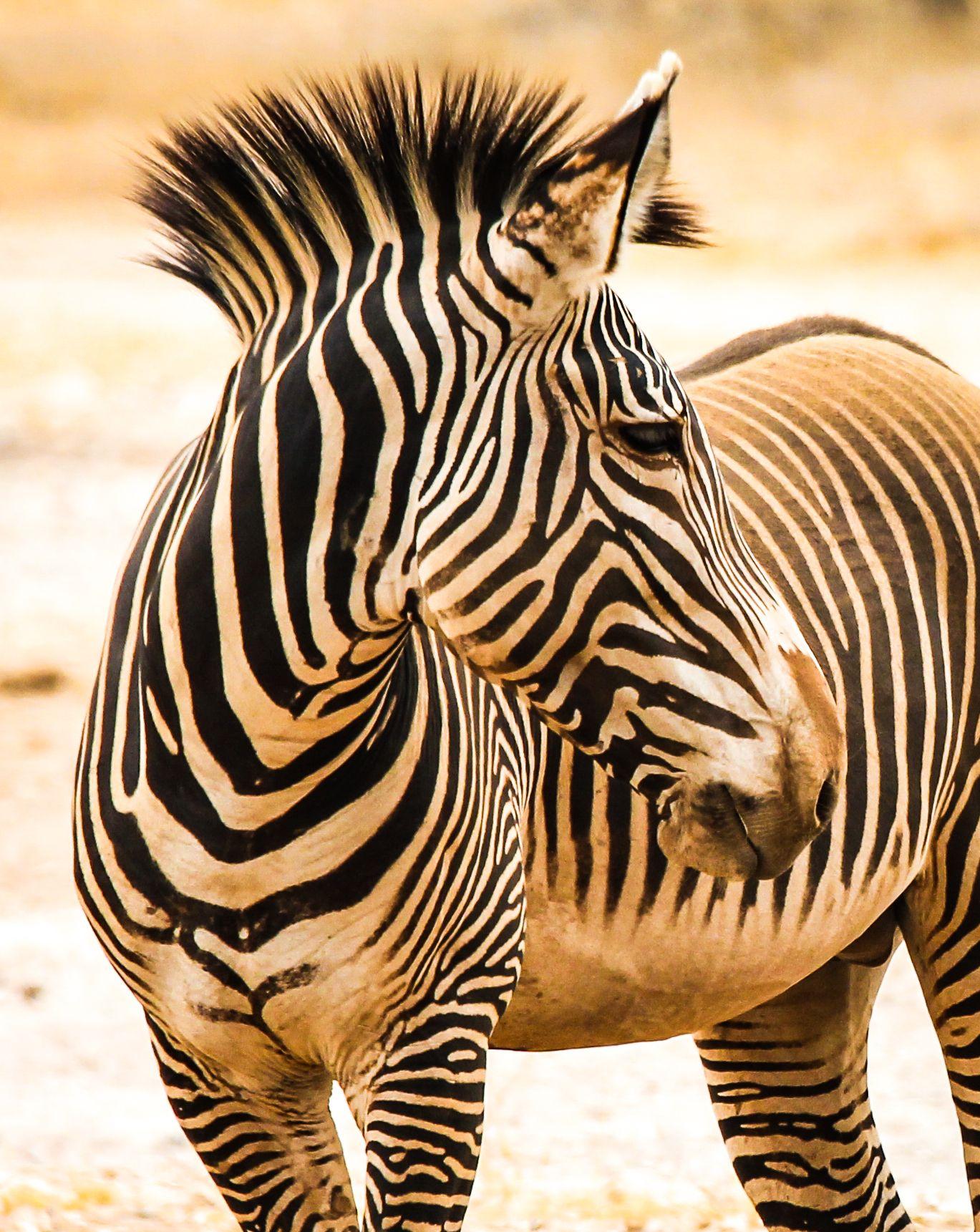 Kenya. The rare Grevy's Zebra in Samburu...so gorgeous!