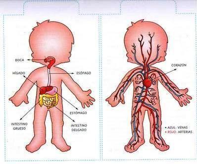ľud.telo cievy,vnútorné orgány