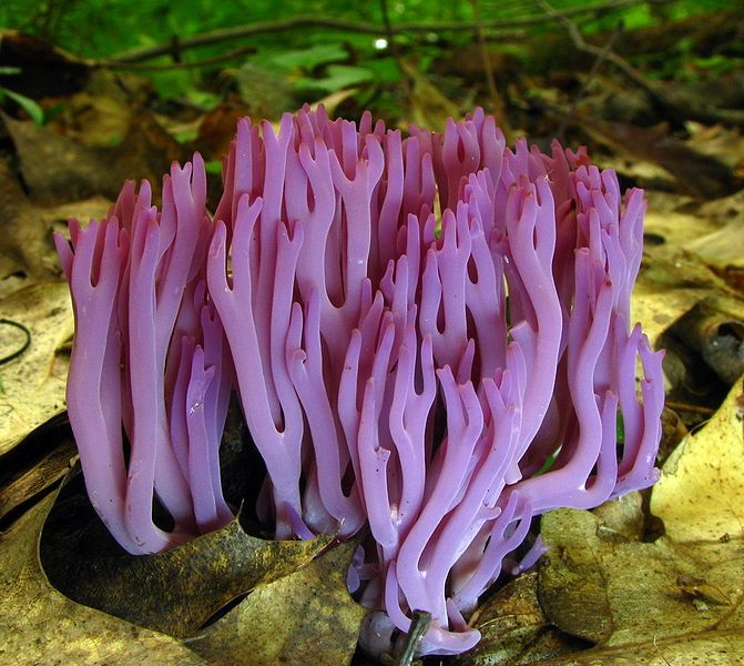 The coral fungus (Clavaria zollingeri) - this clavarioid fungi typically has erect, simple or branched basidiocarps (fruit bodies) that are formed on the ground, decaying vegetation, or dead wood. (photo by Dan Molter at the Mushroom Observer)