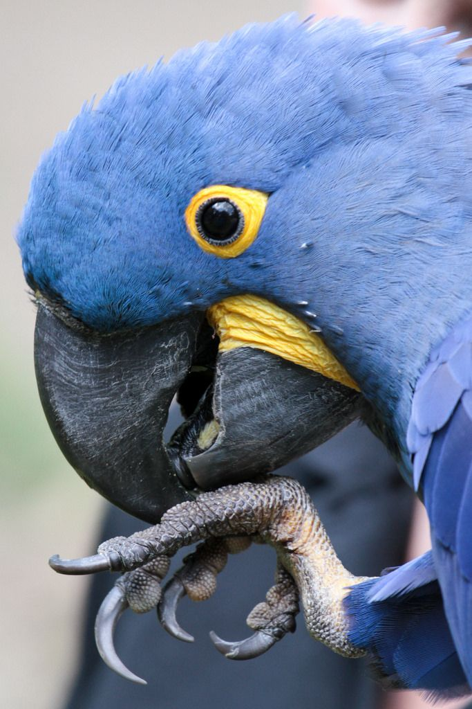 Hyacinth Macaw (by Mark Dumont)