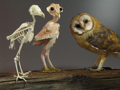 Image Result For Barn Owl Skull Owl Skeleton