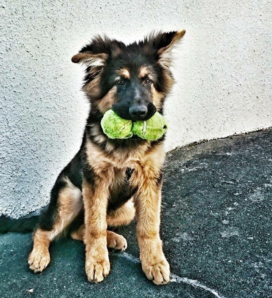 Pedigree German Shepherd Puppies Trade Me German Shepherd