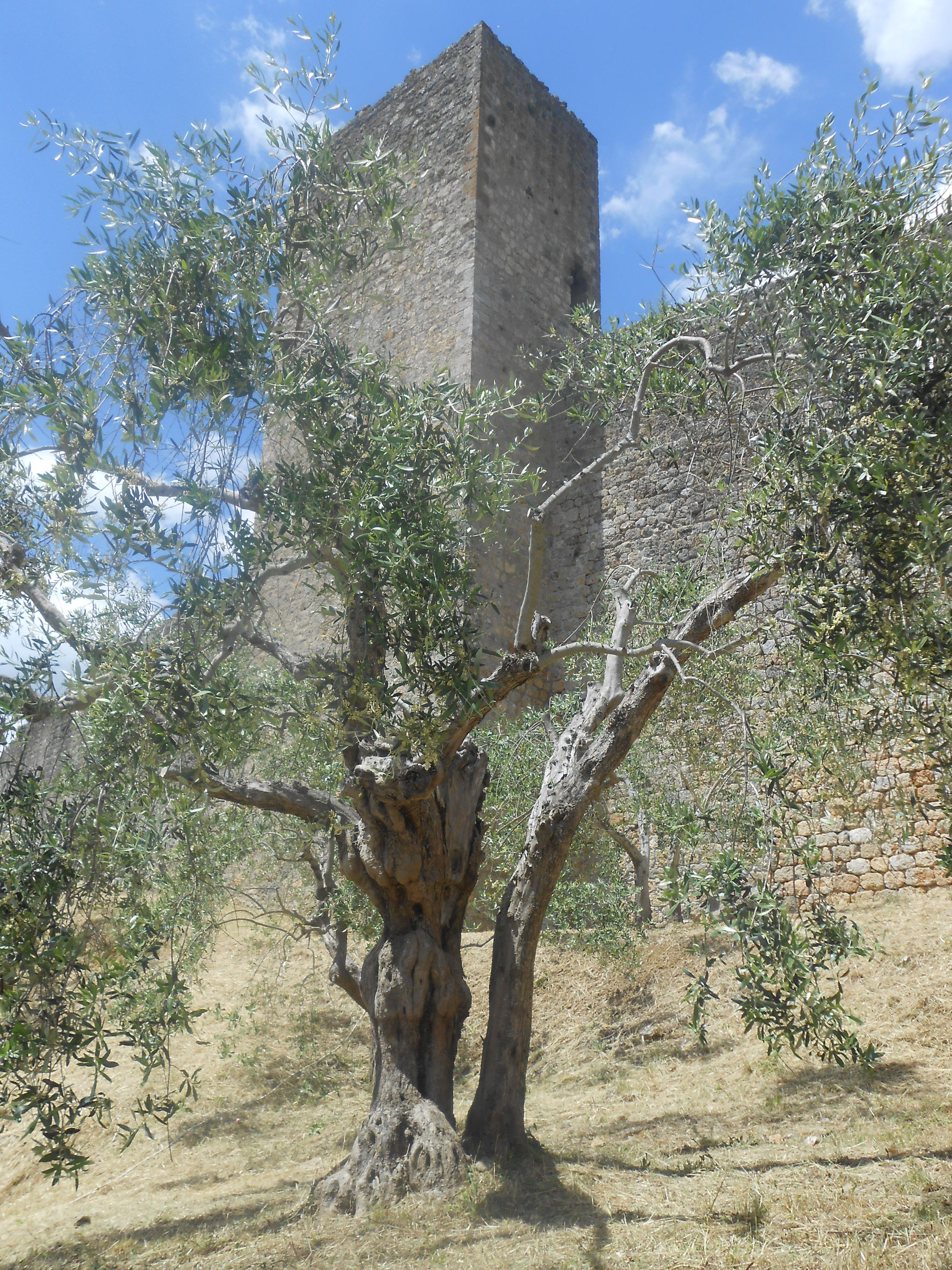 Tree of Ulivo Monteriggioni, Siena - Italy