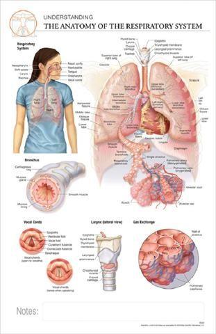 11x17 Adhesive Anatomy Poster - The Anatomy of the Respiratory ...