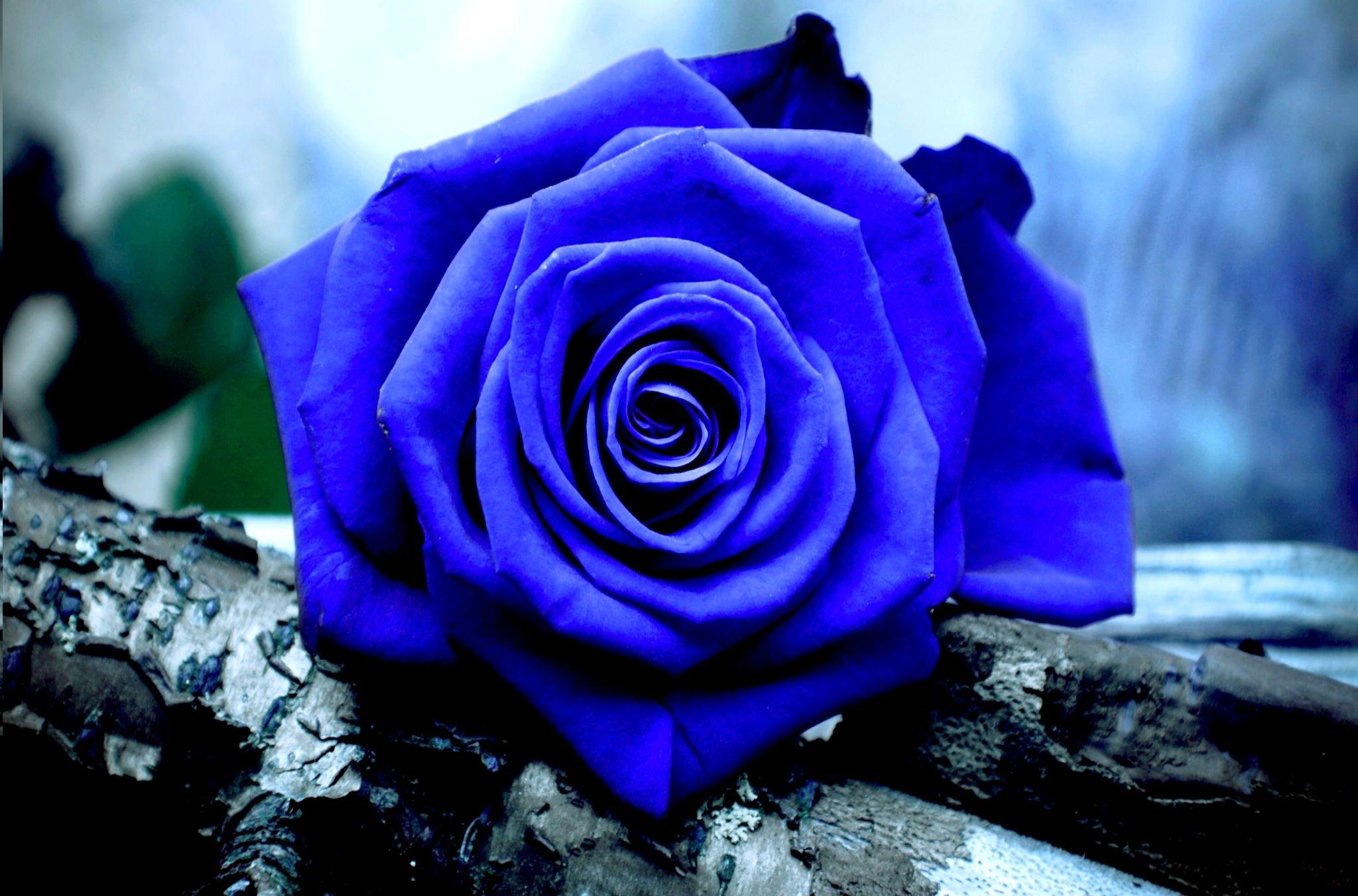 Amazing blue rose wallpaper free download. Blue roses