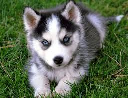 Puppies For Sale Near Me Google Search Cute Husky Puppies
