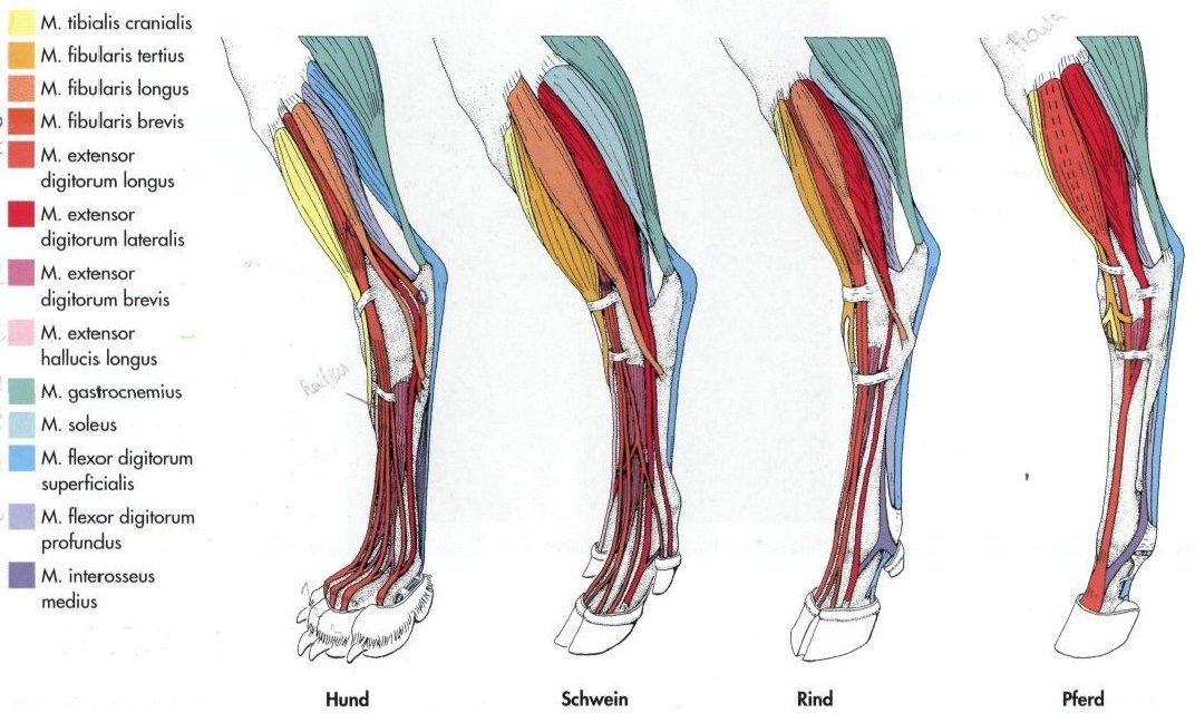 Foot Musculature In Dog Pig Cow Horse Anatomy In 2019 Horses