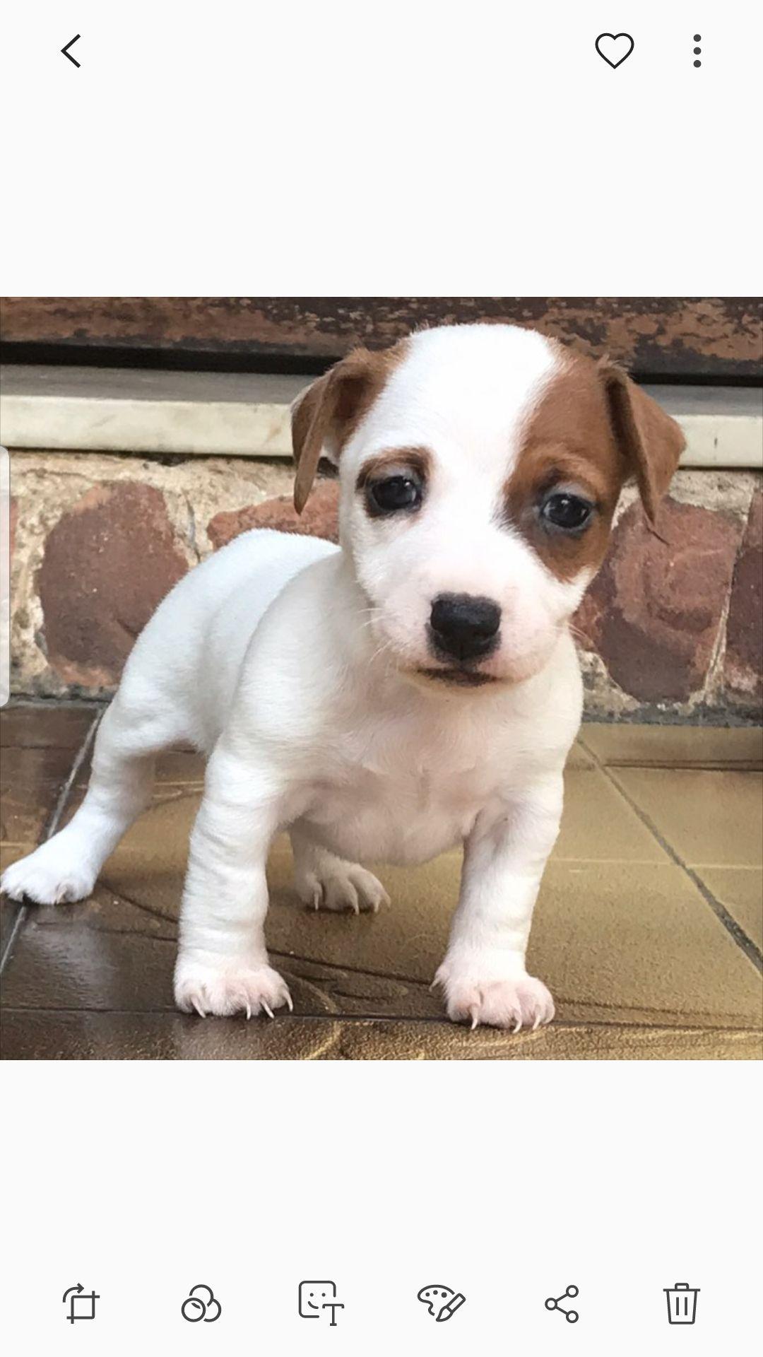 A Donner Chiot Type Jack Russel Terrier Male Les Petites Annonces L Echo De La Rive Nord Chiot Chien Chat Jack Russel
