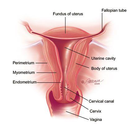 Reproductive Female Anatomy Uterus Fallopian Tubes Cervix