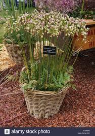 Wicker Basket Of Nectaroscordum Siculum Subsp Bulgaricum Sicilian Stock Photo Alamy Tatton Park Flower Show Growing Plants Plants