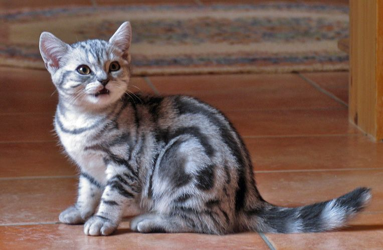 British Shorthair Silver Classic Tabby British Shorthair Kitten British Shorthair British Shorthair Kittens British Shorthair Cats