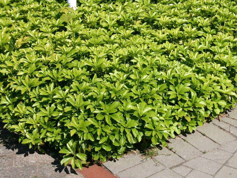 pachysandra terminalis 39 green carpet 39 japanischer ysander. Black Bedroom Furniture Sets. Home Design Ideas