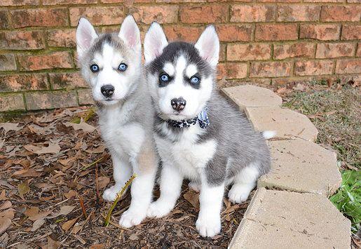 Husky Puppies For Sale In Ga Visit Our Webpage Http Sdeewalker