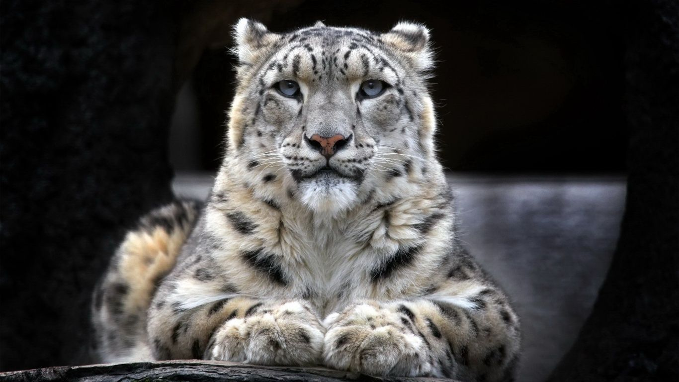 Snow Leopard 1366x768 Wallpaper Snow Leopard Leopard Wallpaper