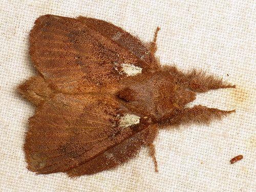 Lappet Moth, Lasiocampidae Family Lasiocampidae (Tent Caterpillar Moths, Lappet Moths)