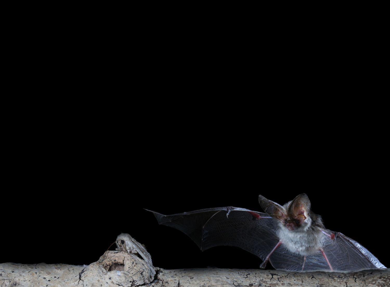 Bats as pest controllers why bats matter bat