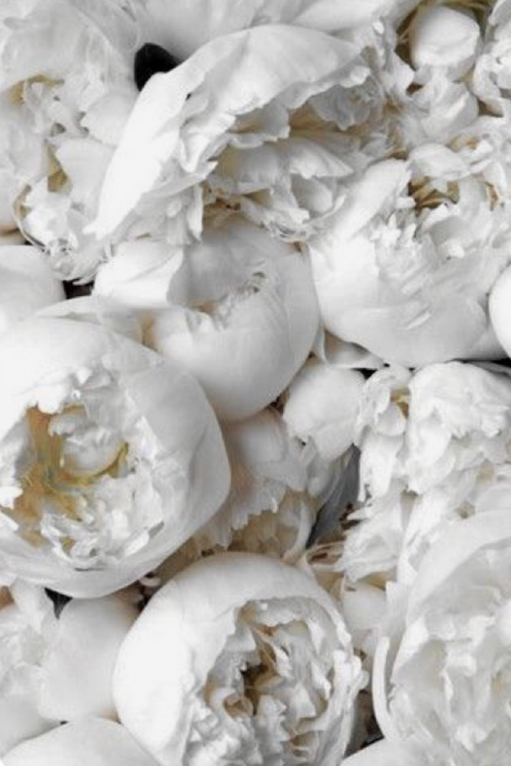 White Peonies Peonies Background Flower Backgrounds Peony