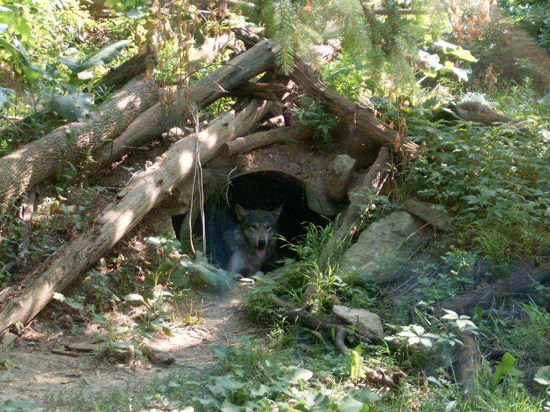 Image result for wolf den