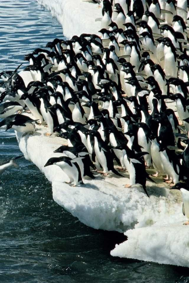 A sea of penguins... Amazing