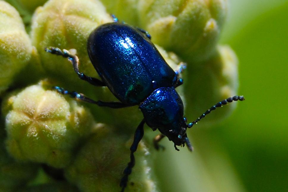 Rainbow Beetle 006