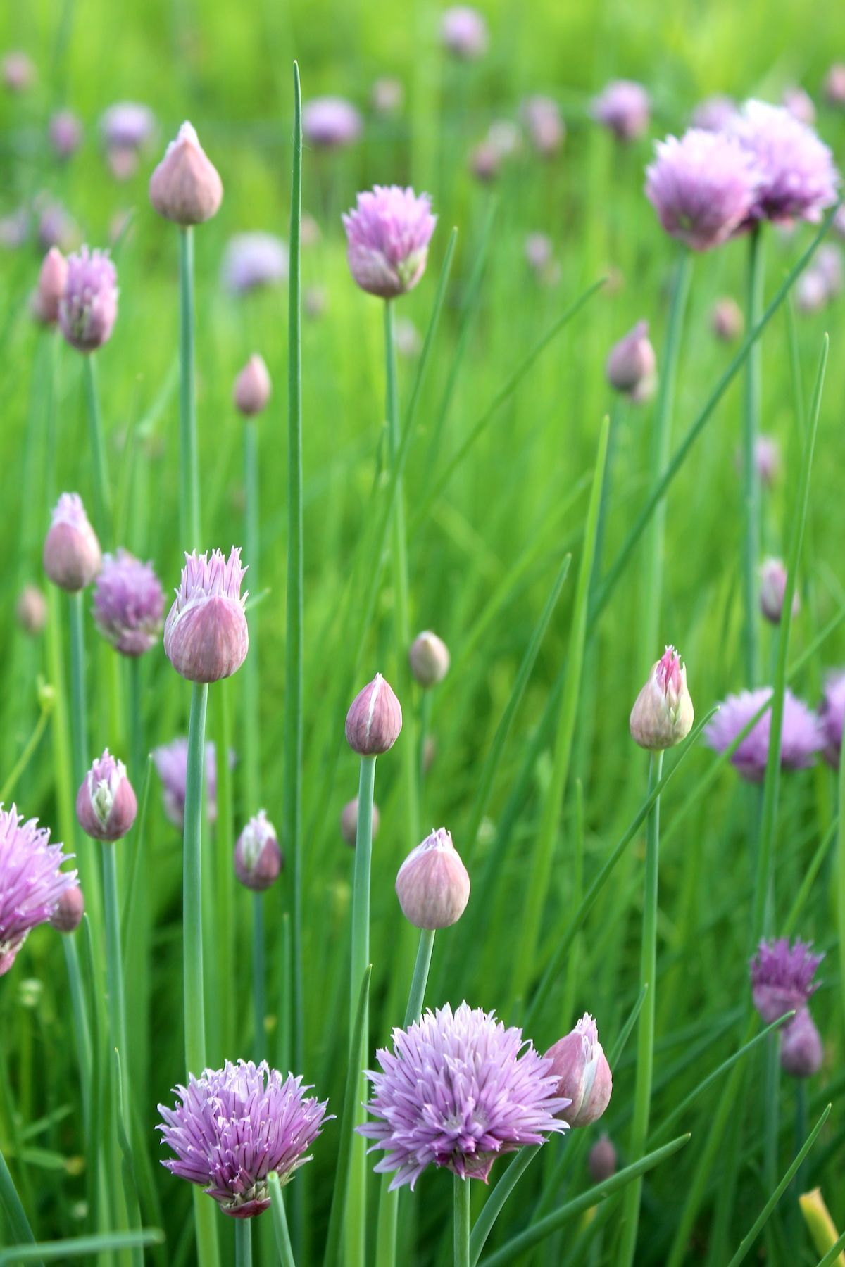 How To Grow Chives Growing Chives Chives Plant Chive Flower