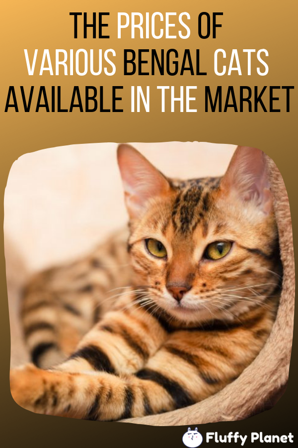 The Prices Of Various Bengal Cats In Australia Bengal Cat Bengal Cat Price Bengal Cat Cost
