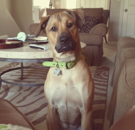 Lucy Boxer Lab And Great Dane Mix Great Dane Mix Dogs Great Dane