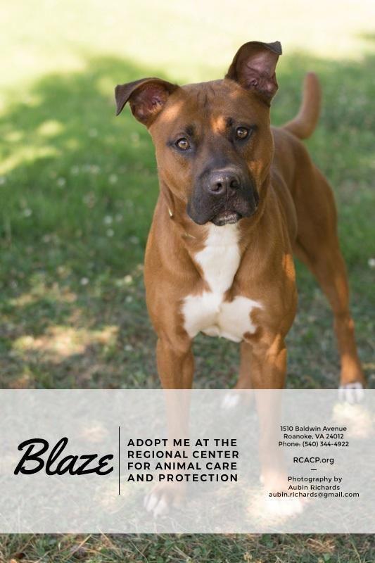 Adopt Blaze On Pitbull Terrier Pet Care Fur Babies
