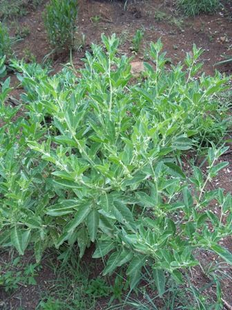 Ashwagandha or Withania somnifera, branched hairs, It is also a Weed of National Significance in Australia as well as a Federal Noxious Weed in the United States, Dosage, sores, abscesses, This plant originally ...