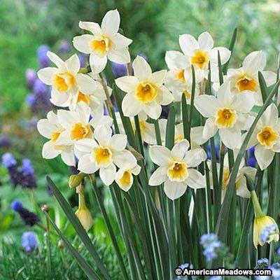 Sweet Love Daffodil Daffodil Bulbs Daffodils Daffodil Flower