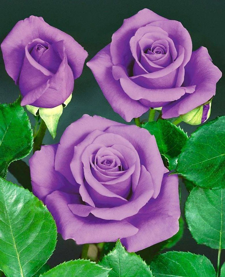 Purple Roses via Lovely Roses Facebook page Rózsák Pinterest - baldur garten rosen