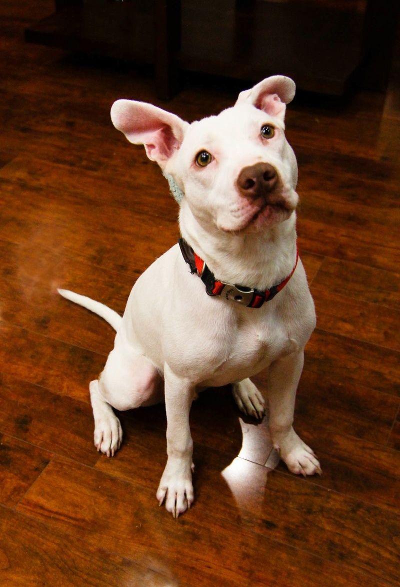 Adopt mickey on pet adoption adoption brittany spaniel