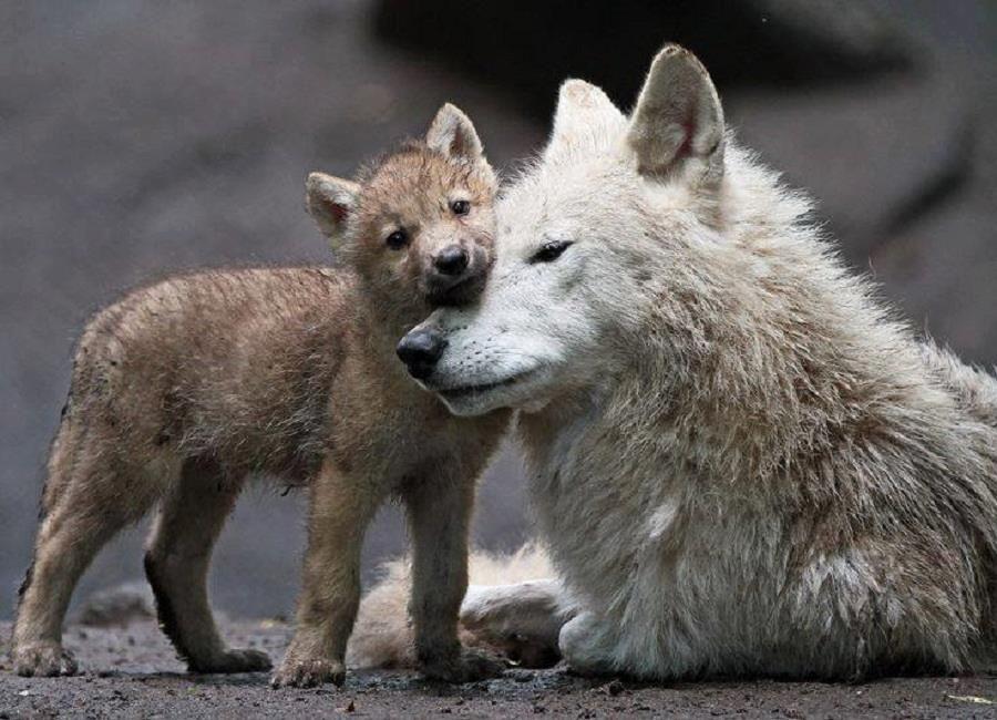 beauté STOP KILLING WOLVES !