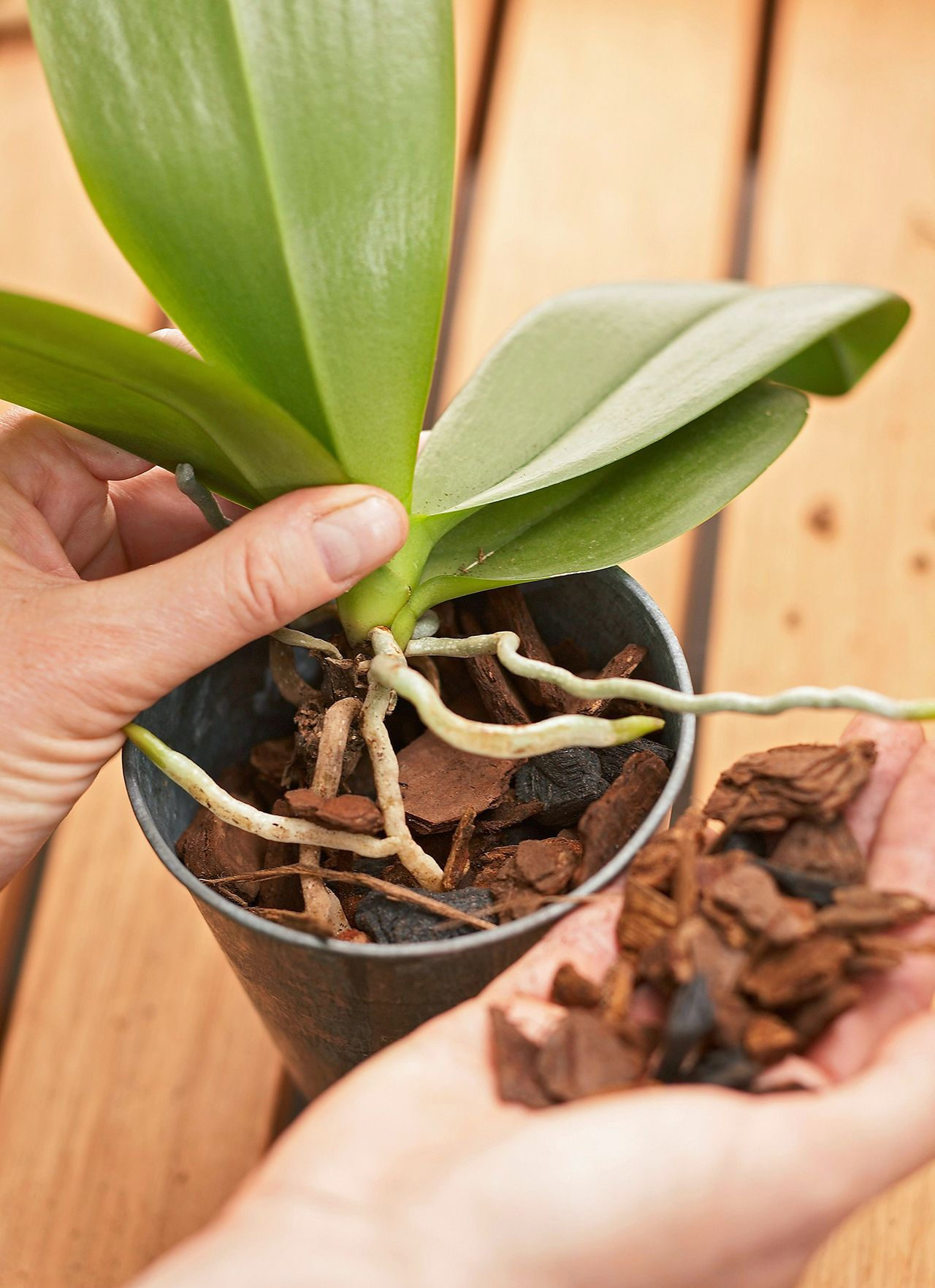 Everything You Need To Know To Grow Orchids Like A Boss In 2020 Repotting Orchids Orchid Care Growing Orchids
