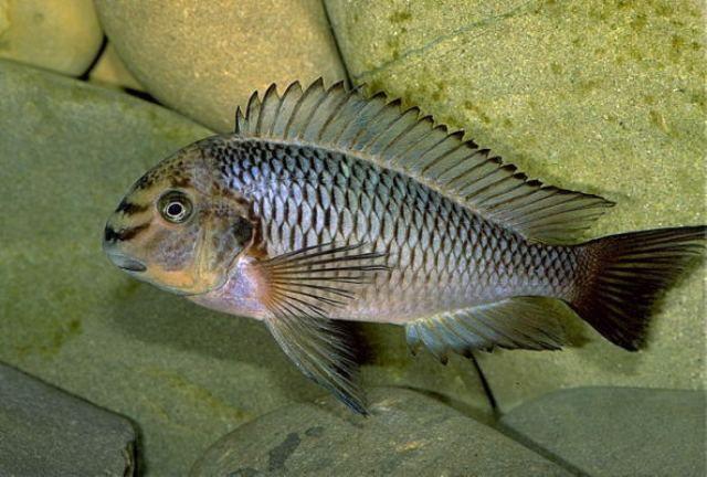 Tropheus Moorii Kapampa Cichliden Vissen