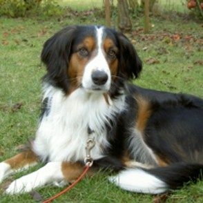 Appenzeller Sennenhund Border Collie Mischling Mixed Breed
