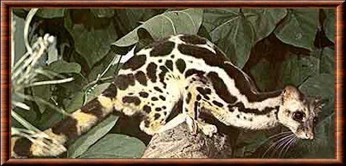 Linsang rayé (Prionodon linsang) Animaux étranges