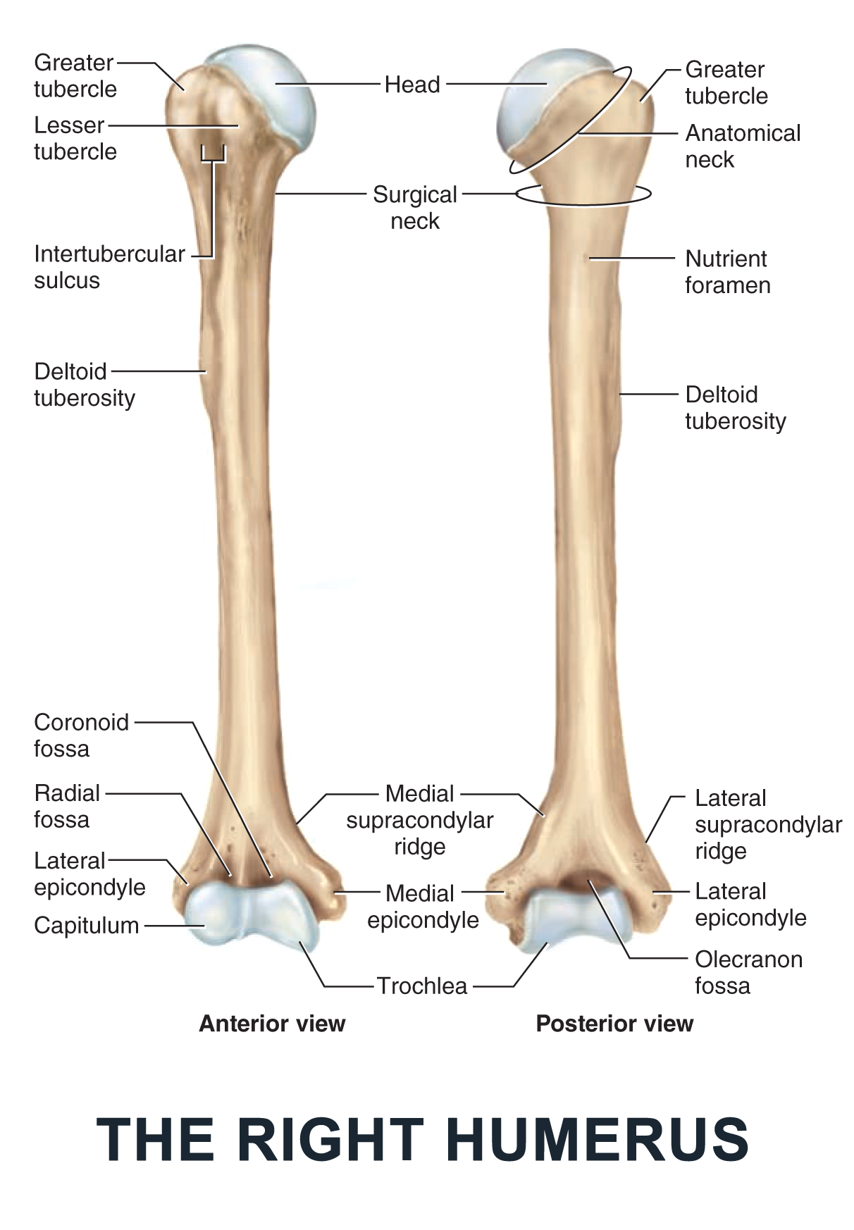 The Right Humerus - #anatomy images illustrations #anatomy images ...