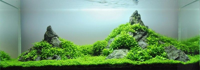 Iwagumi style aquascape, with the Oyaishi stone at the right