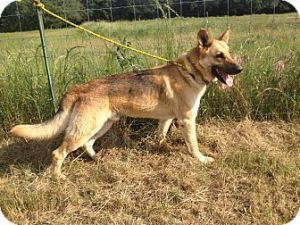 Adopt King On German Shepherd Dogs Shepherd Dog Dogs